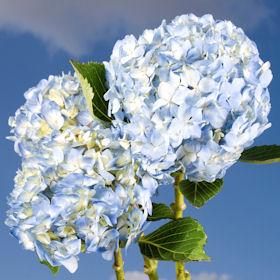 40 Hydrangeas White-Blue