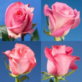 150 Order Pink Roses