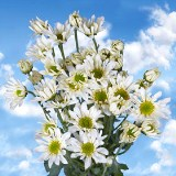 Order White Chrysanthemum Daisy Flowers