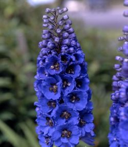 Delphinium Hybrid Assorted 120 Flowers 22