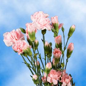 Pink Spray Mini Carnations 300