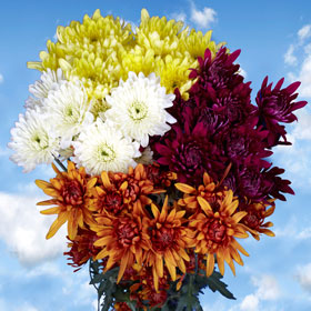 Chrysanthemums  Assorted Cushion  36 Stems  180 Blooms