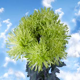 Chrysanthemums Green Fuji Spider Mums 50 Green Flowers