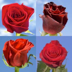250 Red Roses Delivered