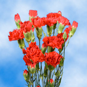 Red Spray Mini Carnations 160