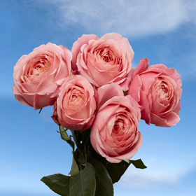 Premium Pink Antike Garden Roses Global Rose