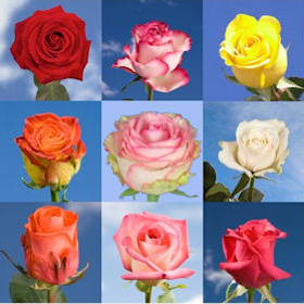 Roses By Color