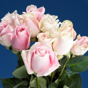 Rosita Vendela Roses 250
