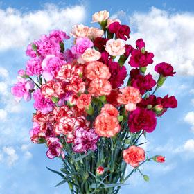 Novelty Color Spray Mini Carnations 300