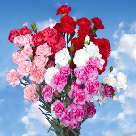 Valentine's Day 300 Spray Mini Carnations