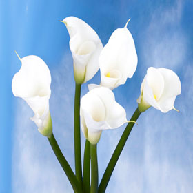 Calla Open Cut White 18 Flowers