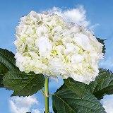 White hydrangea flowers globalrose t