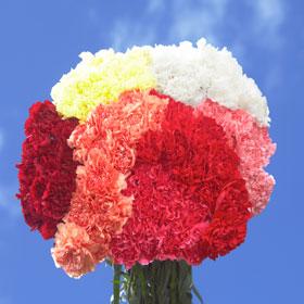 350 Wholesale Color Carnations