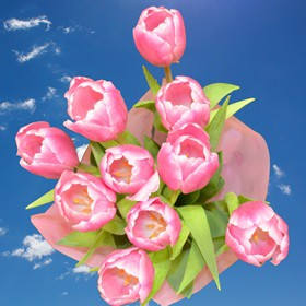 240 Wholesale Pink White Tulip Flowers