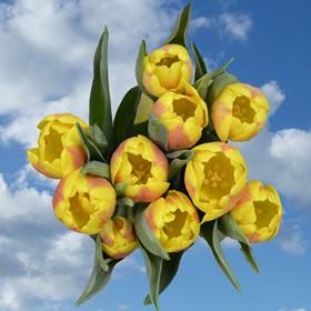 240 Wholesale Yellow Tulip Flowers