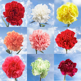 350 Wholesale Your Choice Color Carnations