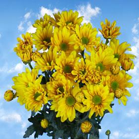 Chrysanthemums 36 Yellow Daisy  Stems  180 Blooms