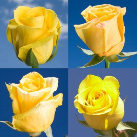 100 Yellow Roses Online