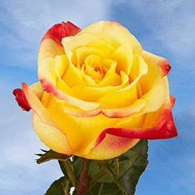 Yellow Roses with Red Tips | Global Rose