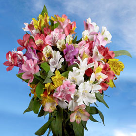 Alstroemeria Super Select 80 Flowers Your Choice Color