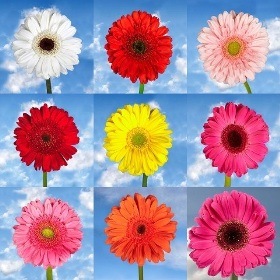 Gerberas Your Choice Color 120 Flowers