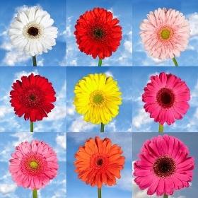 Gerberas Your Choice Color 120 Flowers
