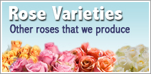 View our Rose Styles
